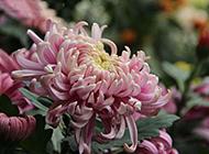 娇艳欲滴的粉色菊花图片欣赏
