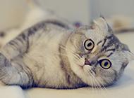 苏格兰折耳猫可爱的图片精选