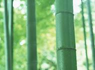 嫩绿的竹林摄影图片