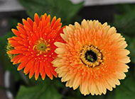 非洲菊唯美花卉高清图片