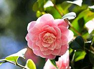 唯美花朵桌面壁纸红色山茶花