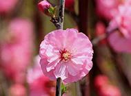 日本樱花图片高清背景素材