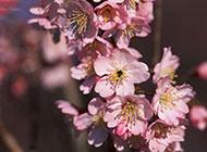 粉嫩娇羞的富士山樱花图片