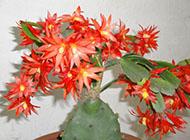 蟹爪兰鲜艳植物图片写真