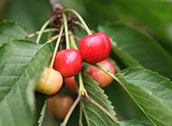红樱桃挂满枝头水果美图秀