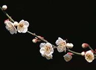 一朵朵白色桃花摄影图片