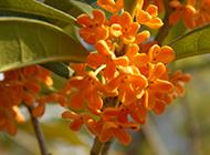 橙红桂花图片繁花满枝