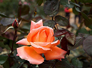 美丽的橙色玫瑰花