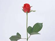 代表一心一意的红色玫瑰
