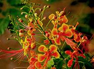 美丽漂亮的凤凰花图片欣赏