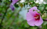 粉色木槿花浪漫春色唯美图片