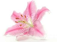 粉色百合花背景素材欣赏