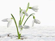 小清新雪地洁白鲜花图片素材