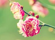 春日清新粉色樱花浪漫飘落美景