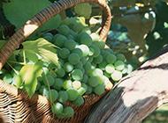 一篮子青葡萄高清图片