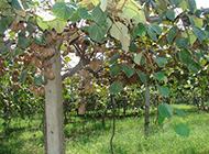 果园里黄褐色的奇异果图片