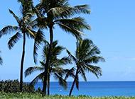 澳洲棕榈树图片随风飘曳