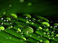 绿色春雨植物图片特写