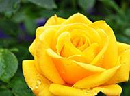 黄色玫瑰花瓣上的水珠