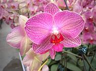 紫蝴蝶花图片摄影素材下载