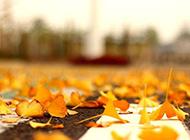 秋天唯美惬意的银杏叶植物图片素材