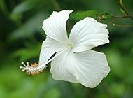 清新淡雅白色花朵背景图片
