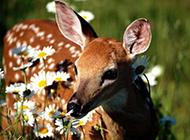 可爱小鹿精美桌面壁纸