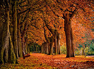 秋日遍地似火的枫树林图片