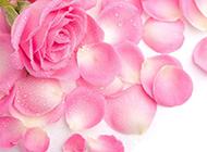 粉色玫瑰花图片背景素材