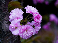 紫色花图片唯美鲜花背景