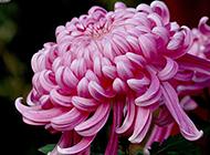 菊花唯美植物图片素材