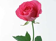 粉红玫瑰花浪漫唯美图片