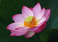 公园粉色荷花风景图片集锦