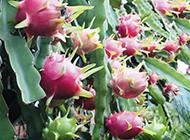 挂在树上的火龙果图片