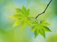 春天美景的绿色树叶图片