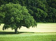 苍翠挺拔的大树图片
