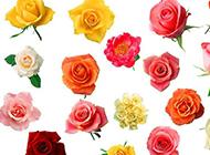 七夕玫瑰花图片背景素材精选