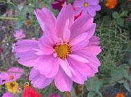 紫色波斯菊图片分享