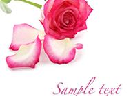 散落的玫瑰花瓣素材