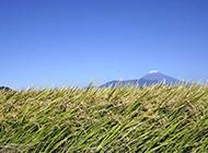 被风吹倒的稻子浪漫唯美风景美图