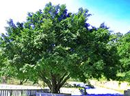 植物榕树图片苍翠欲滴
