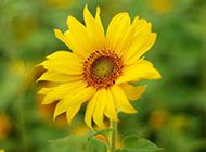 唯美向日葵图片精致特写