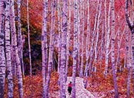 白杨树林自然风景图片