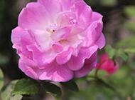 娇柔的蔷薇花特写图片