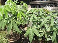 四季发财树盆栽精美图片