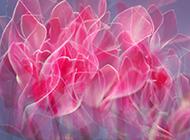 素雅沁人仙客来高清精美植物壁纸