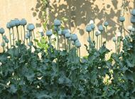 白色罂粟花摄影图片