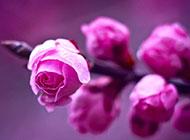 粉红花蕾含苞待放高清背景图片