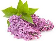 清新俏丽的紫色丁香花图片
