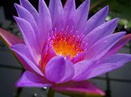 紫色妖艳睡莲摄影图片